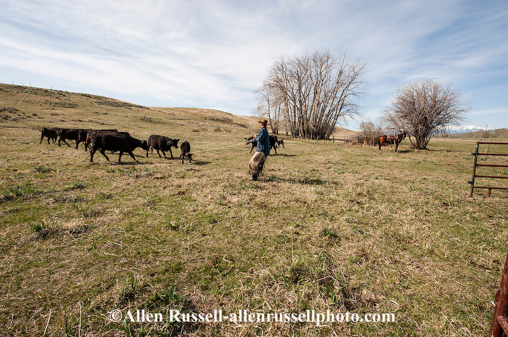 Cowboys, Randy Holland, separating calves, branding, Lazy SR Ranch, Wilsall, Montana, MODEL RELEASED