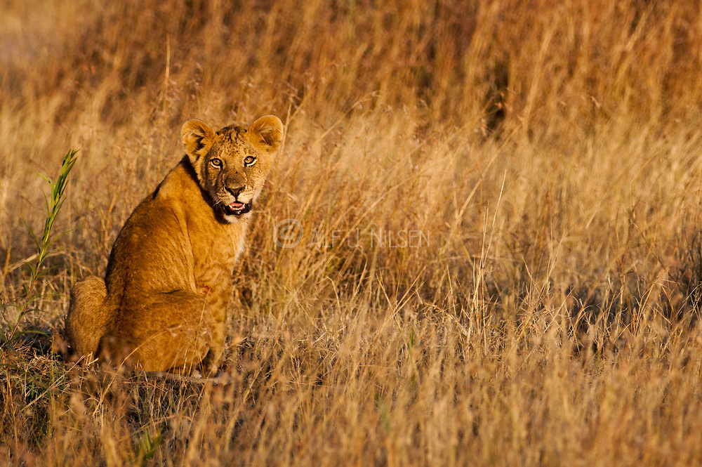 Lion cub in the evening sun in Maasai Mara, Kenya.