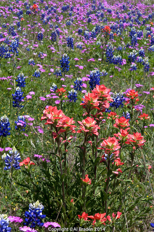Indian Paintbrush, Phlox, and Bluebonnets near Shiner, Texas.