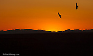 California condors silhoutted against the sunset at Grand Canyon National Park in Arizona digitally composited