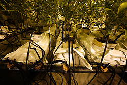 NETHERLANDS UNDISCLOSED LOCATION 8JAN14 - Detail of a small-scale cannabis farm at an undisclosed location in the Netherlands.<br /> <br /> jre/Photo by Jiri Rezac<br /> <br /> &Acirc;&copy; Jiri Rezac 2014
