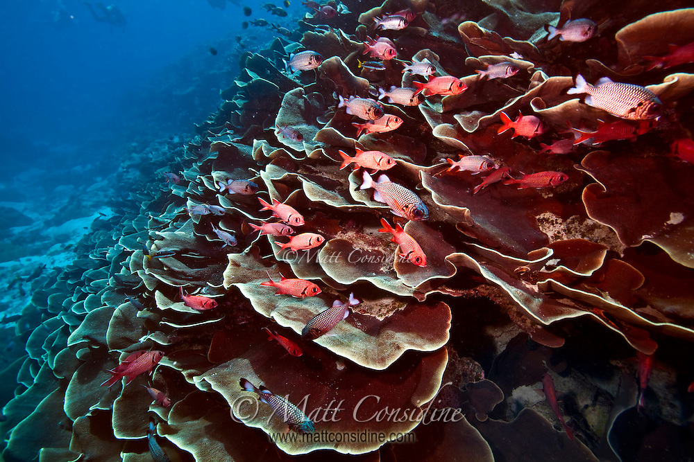 The famous Ulong Channel with plate coral and Glasseyes taking shelter from the current.  It is great fun to do a fast drift dive down Ulong past  all the abundant life on the reef, Palau Micronesia. (Photo by Matt Considine - Images of Asia Collection)