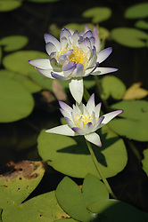Beautiful waterlily (Nymphea sp.) flowers in a pool at Galvan's Gorge on the Gibb River Road.