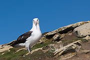 A Black-browed albatross stands on a grass and rock covered slope.