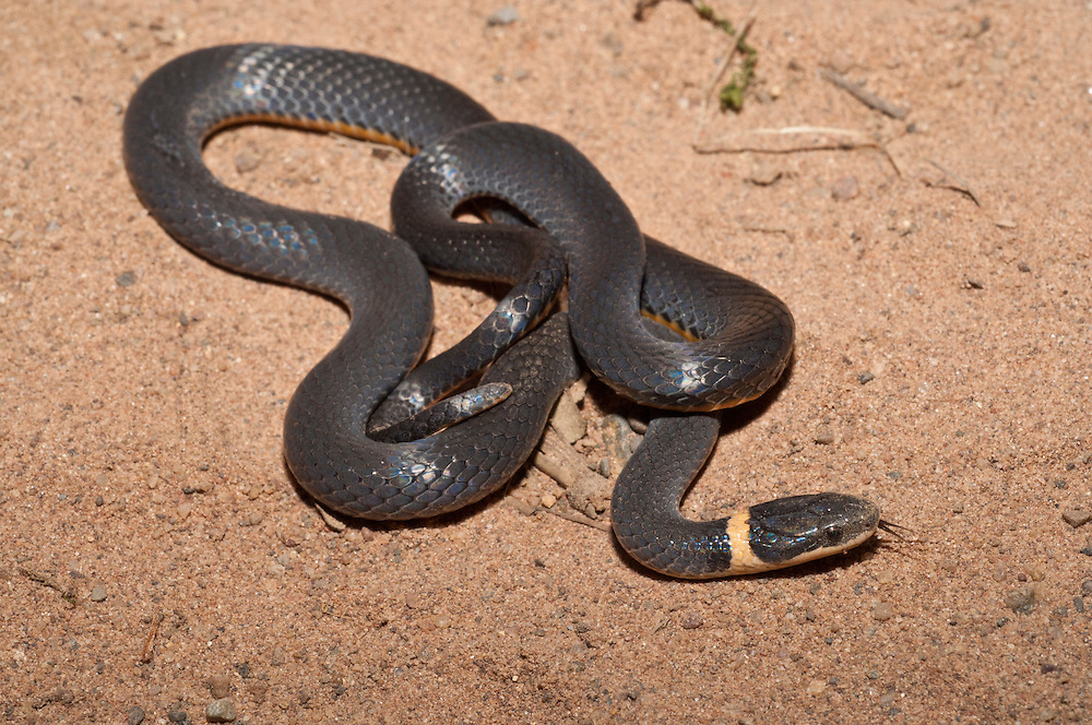 Northern ring-necked snake, Diadophis punctatus edwardsii, native to North America