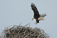 Bald Eagle Nest 2012 at Mudlock MNWR