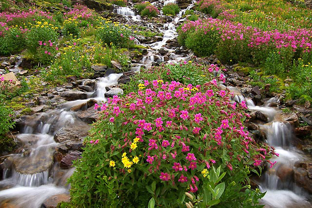 monkey flowers pink growing along creek in glacier national park, crown of the continent, montana, usa