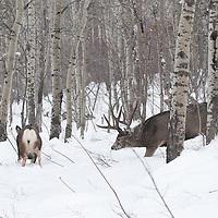 muledeer buck winter rut pusueing doe though aspen trees heavy snow