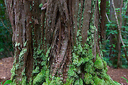 Eucalyptcus Tree, Judd Trail, Nuuanu Valley, Honolulu, Oahu, Hawaii