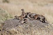 Banded mungooses (Mungos mungo) on an old termite mound in Maasai Mara, Kenya.