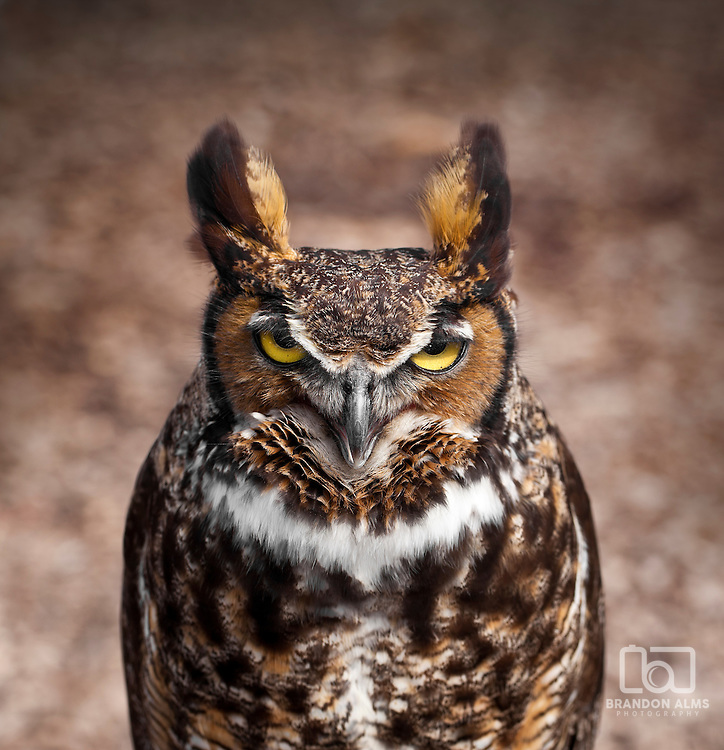 A close up shot of a Great Horned Owl (Bubo virginianus). This owl is the largest owl native to North America. They have large tuffs that resemble ears.