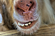 Alpaca Lama pacos, close up of the mouth and teeth