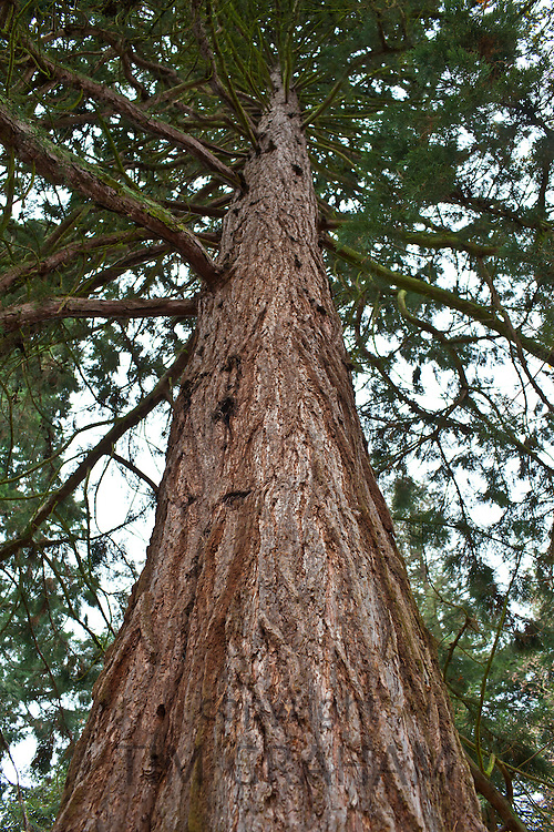 Redwood trees, sequoiadendron giganteum (Redwoods) at Batsford Arboretum, The Cotswolds, Gloucestershire