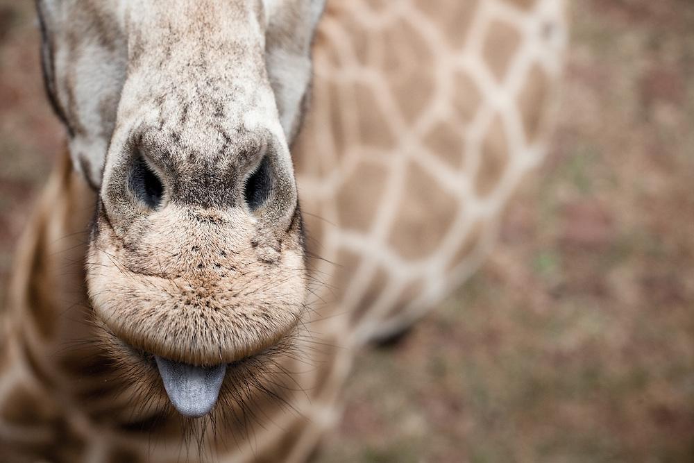 An endangered Rothschild giraffe in Kenya