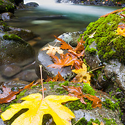 Big leaf maple leaves line the banks of a creek in Mount Rainier National Park near Packwood Washington.