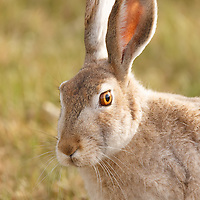 Animals - White-tailed Jackrabbit