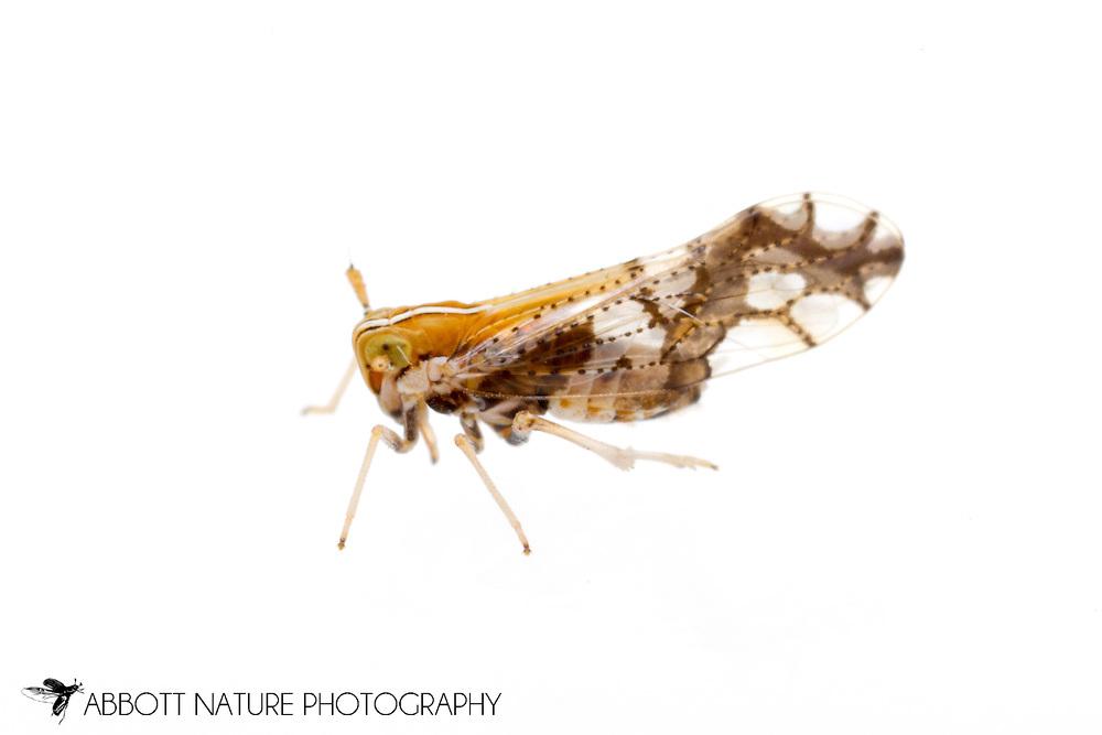 Delphacid Planthopper (Liburniella ornata)<br /> ARKANSAS: Polk Co.<br /> Ouachita National Forest; Rich Mountain off Hwy 18<br /> 1-3.July.2015<br /> J.C. Abbott #2762 &amp; K.K. Abbott