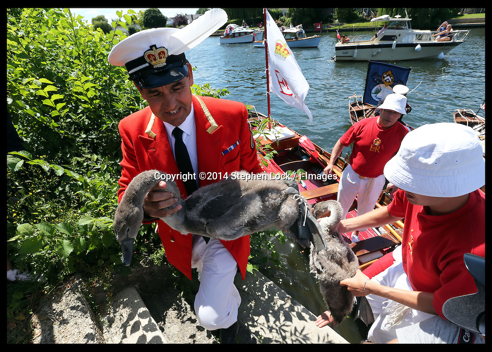 Image licensed to i-Images Picture Agency. 14/07/2014. Shepperton, United Kingdom. David Barber, The Queen's Swan Marker brings a cygnet ashore to be weighed and checked during the Swan Upping, the annual census of the swan population on the river Thames .Picture by Stephen Lock / i-Images