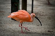 The scarlet ibis (Eudocimus ruber) is a species of ibis in the bird family Threskiornithidae. It inhabits tropical South America and islands of the Caribbean. In form it resembles most of the other twenty-seven extant species of ibis, but its remarkably brilliant scarlet coloration makes it unmistakable. It is one of the two national birds of Trinidad and Tobago.
