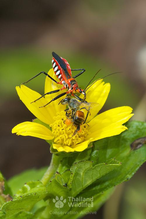 Rhynocoris fuscipes Assassin Bug (Reduviidae) hunting and feeding on a bee in Chaloem Phrakiat Thai Prachan National Park, Thailand.