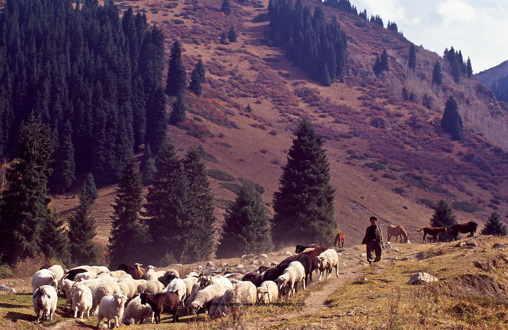 A Shaban, or shepherd, guides his flock through a mountain pass in Butakovka in the Zailiisky Alatau Mountains in Southern Kazakhstan