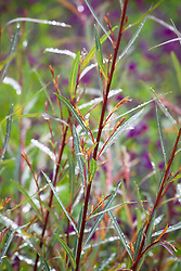 Salix purpurea 'Nancy Saunders' AGM. Willow