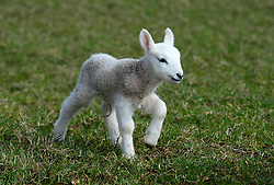 © Licensed to London News Pictures. 11/03/2016. Sedbergh, UK. A lamb in the spring sunshine near Sedbergh, Cumbria. Photo credit : Anna Gowthorpe/LNP
