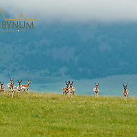 herd of antelope on a green grass ridge summer