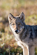 Wolf, Canis lupus, pup, autumn, alpine tundra, Grant Creek pack, Denali National Park, Alaska, vertical, wild