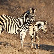 Zebra. Mapungubwe National Park and World Heritage Site, Leokwe Camp, South Africa, September 2009, Organization for Tropical Studies Trip.