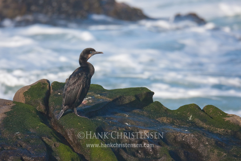 A cormorant stands atop an offshore rock, Salt Point State Park, California