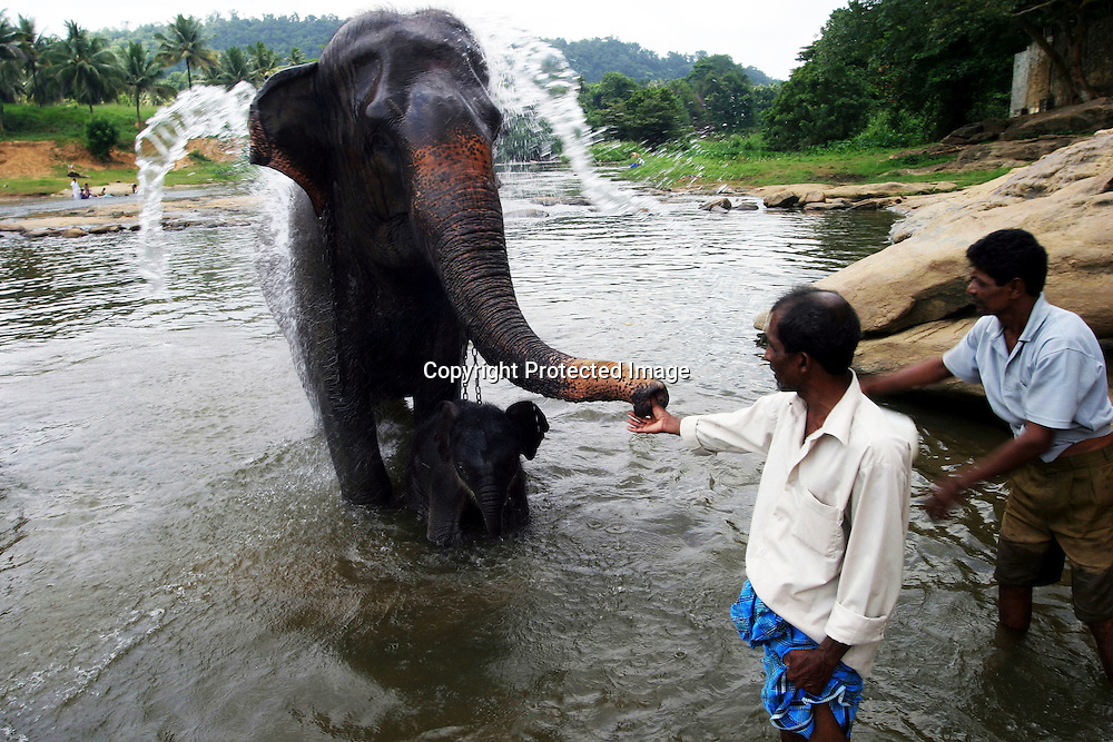 PINNAWELA, OCTOBER-3 : orphan mother Mathali  and her 8 day old baby greet chief mahout Sumanabanda  on the babies' first bath in the Ma Oya river in Pinnawala, October 3, 2005, Sri Lanka.  The baby is considered a second generation elephant as it descends from an orphan mother . Sumanabanda says the baby will be accustomed slowly to the herd .PINNAWELA, OCTOBER-3 : an elephant greets a visitor   in Pinnawela, October 3, 2005, Sri Lanka.   .The Pinnawela orphanage was started in 1975 and initially designed to afford care and protection to the many baby elephants found in the jungle without their mothers. In most cases the mother either had died or been killed. .Animals are allowed to roam freely duringthe day and a herd structure allows to form. there are only a few elephant orphanges worldwide. At Pinnawela an attempt was made to simulate, in a limited way, the conditions in the wild. Currently the herd consists of 75 elephants under the surveillance of legendary  Mahout chief Sumanabanda.