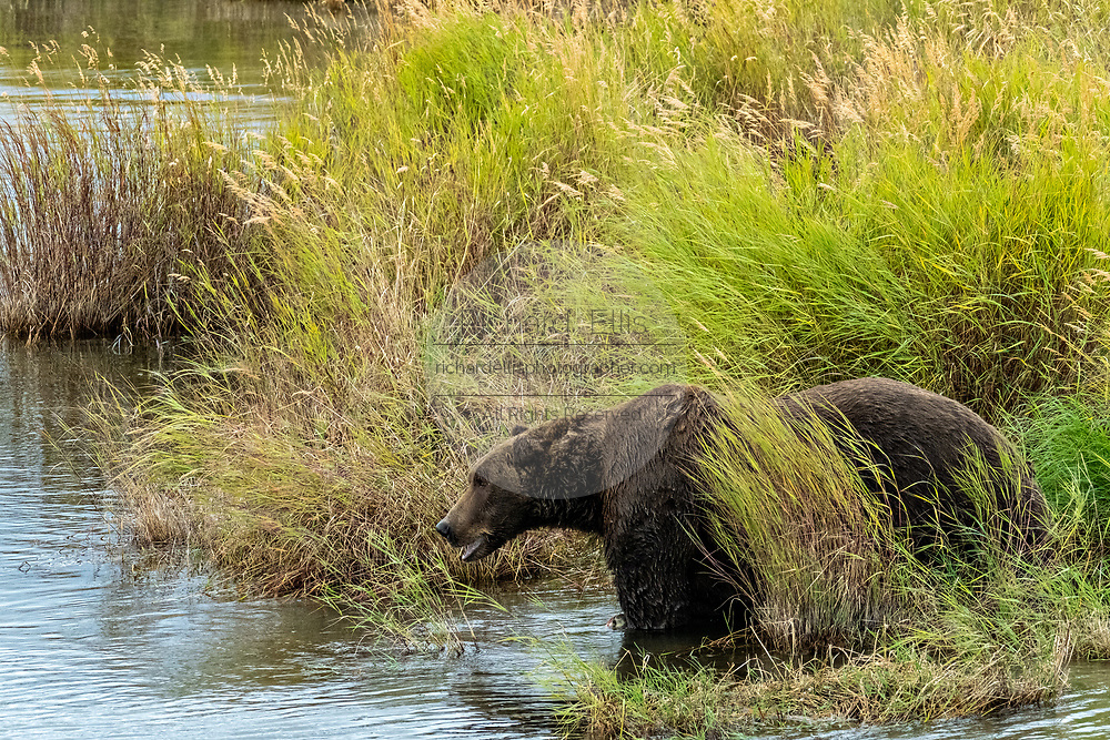 A large adult Brown Bear, hidden by the tall grass in the lower Brooks River lagoon at in Katmai National Park and Preserve September 16, 2019 near King Salmon, Alaska. The park spans the worlds largest salmon run with nearly 62 million salmon migrating through the streams which feeds some of the largest bears in the world.