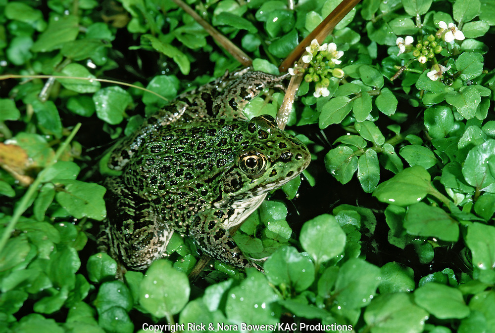Chiricahua Leopard Frog.Rana chiricahuensis.Three Forks, south of Greer, ARIZONA, United States.August          Adult           Ranidae