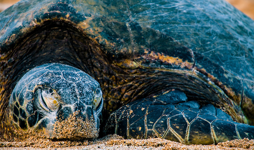 Honu Green Sea Turtle Sleeping