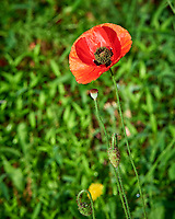 Red Poppy.  Image taken with a Nikon D810a camera and 105 mm f/1.4 lens