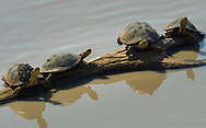 REsting terrapin in  Kruger NP, South Africa