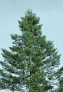Giant Fir Abies grandis (Pinaceae) HEIGHT to 55m <br /> Magnificent when mature. Fast-growing conifers, reaching a height of 40m in as many years. LEAVES Note the comb-like arrangement of soft, shining-green needles, borne in 2 rows on either side of downy olive-green twigs. Needles are up to 5cm long with a notched tip and 2 pale bands below; orange-scented when crushed. REPRODUCTIVE PARTS Cones are smooth, less than 10cm long and are produced high up on trees at least 50 years old; they break up on tree to release seeds, STATUS AND DISTRIBUTION Native of coastal W USA. Planted in our region for ornament and sometimes commercially.