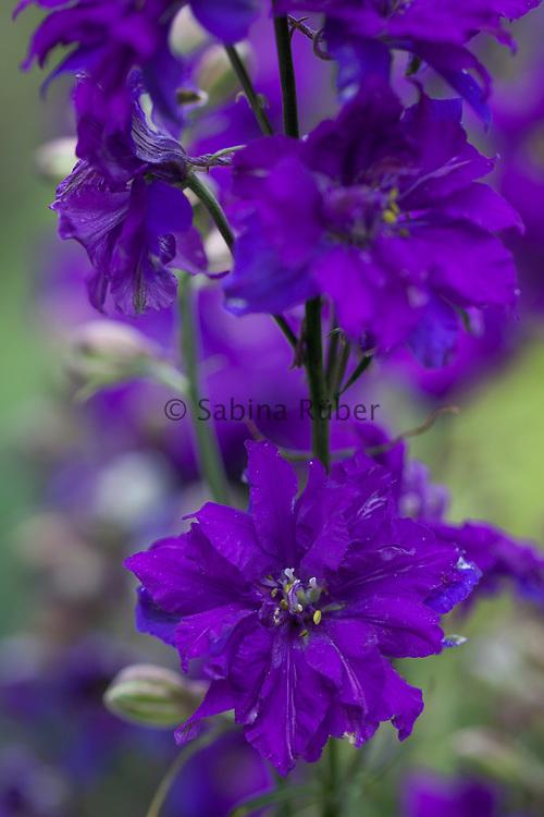 Delphinium consolida 'Blue Spire' - Exquisite Series - larkspur