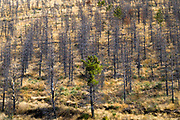 Serra da Estrela mountain range in the Natural Park. Fire damaged trees on mountain slope after the wildfire of 2017 as conifers show signs of new growth, in Portugal.