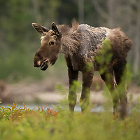 "A young moose (Alces alces) with a condition  known as ""ghost moose"" which is caused by heavy tick investations. New Brunswick, Canada."
