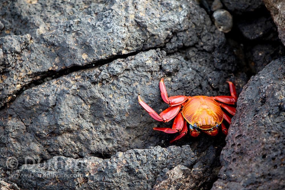 A red rock crab, or Sally Lightfoot (Grapsus grapsus) on South Plaza Island, Galapagos Archipelago, Ecuador.