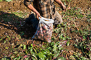 Tim harvests beets at a Veggies for All harvest in Unity, Maine