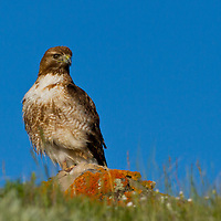 Red tail hawk along Gros Ventre River, Wyoming.