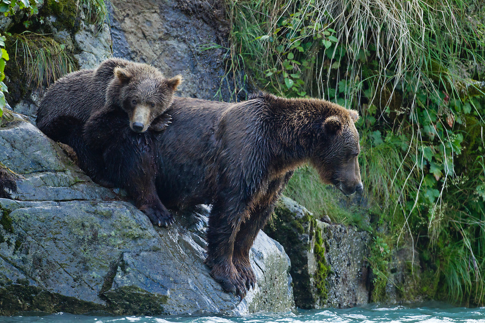 USA, Alaska, Katmai National Park, Grizzly Bear sow  and cub (Ursus arctos) sitting on rock watching salmon spawning in stream near Geographic Harbor in late summer