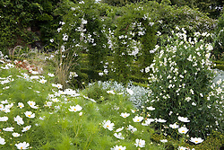 Sweet peas, solanum and cosmos in the White Garden at Sissinghurst Castle