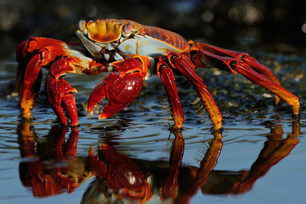 Sally Lightfoot crab (Grapsus grapsus), Rábida island, Galapagos, Ecuador.