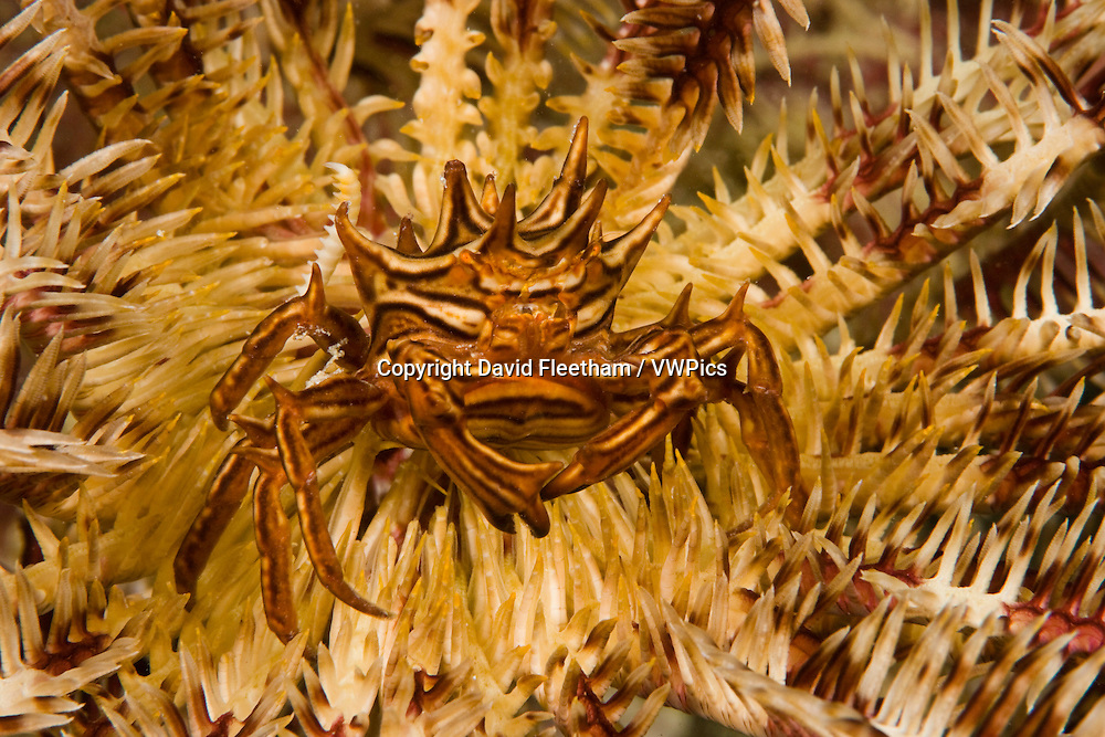 An unidentified crab makes it's home on a crinoid, Yap, Micronesia.