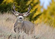 Mule Deer, Montana
