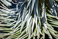 A closeup view of the leaves of a Silver sword plant in Haleakala National Park, Maui, Hawaii, USA.